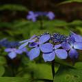 Photos: 森の中のクロヒメアジサイ_03