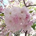 造幣局 簪桜