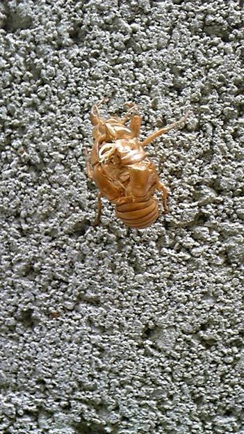 写真: 蝉の抜け殻