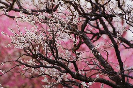 梅花爛漫。