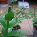 キリギリスの仲間の幼虫