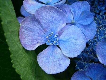 紫陽花の開花