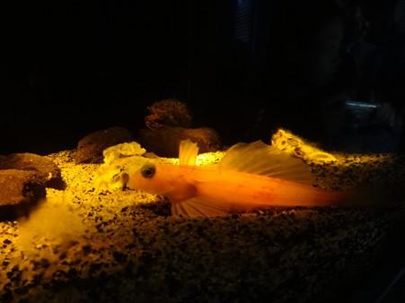 ベニテグリ 生息水深150m−300m