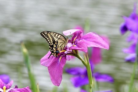 2012.06.18 三渓園 大池 ハナショウブとキアゲハ