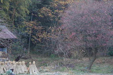 2010.12.29 和泉川 紅梅