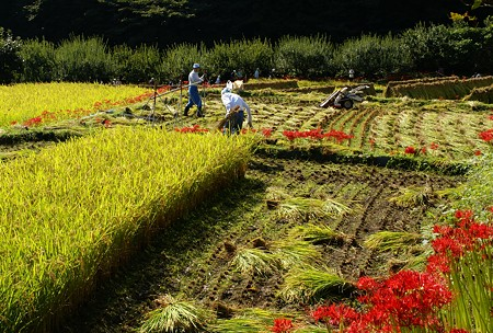 棚田の稲を刈るひと 3  日向薬師にて・・