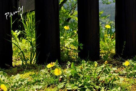箱根関所に咲くたんぽぽ・・