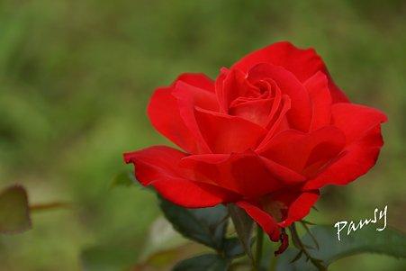 rose garden..14