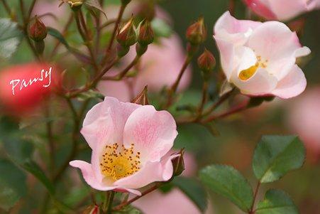 rose garden..18