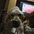 Photos: 大型犬との引っ張り合いは