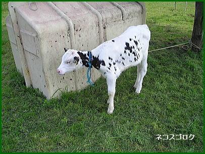 加藤牧場 子牛