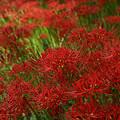 Photos: 曼珠沙華の花咲く。0920w