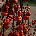 Photos: 秋色の飾りなす3。(9/20)