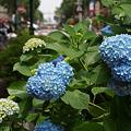 Photos: アジサイが咲き出した馬車道通り!