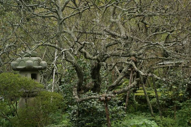 古木の枝ぶりが見事、鎌倉/瑞泉寺。(10/26)