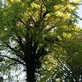 写真: イチョウの大木、鎌倉/長勝寺。(11/01)