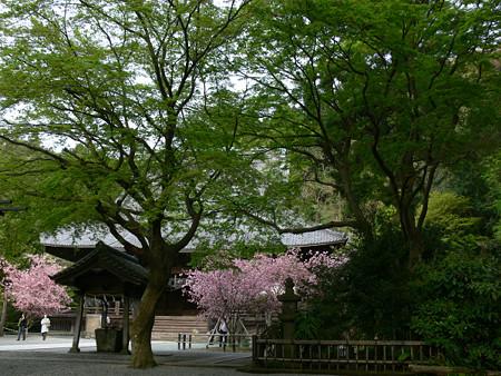 新緑と海棠妙本寺0412ta