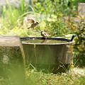 Photos: 雀の水浴び0517te