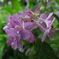 Photos: ピンクのヤマアジサイ咲く0531
