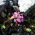 Photos: 桃色の花
