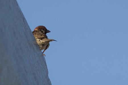 自宅で野鳥1