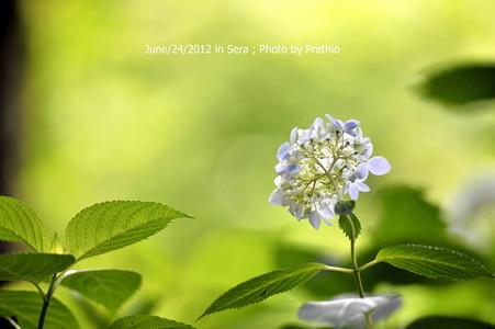 康徳寺の紫陽花(2)