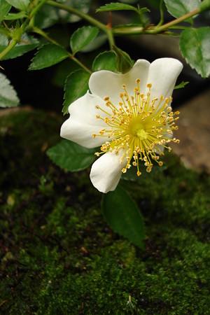 夏の薔薇3