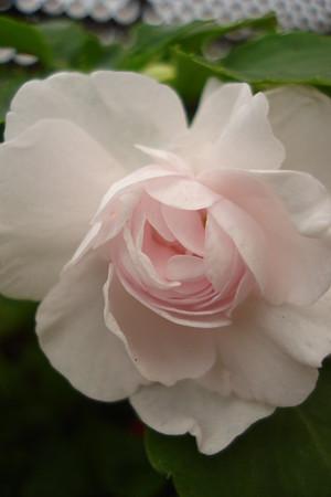 薔薇のように…