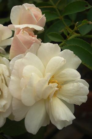 盛夏に咲く薔薇♪