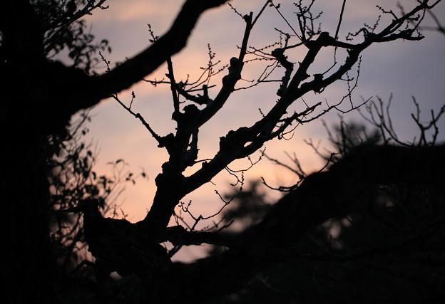 梅の木と夕暮れ