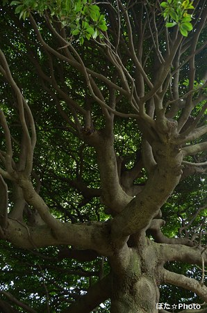 谷中霊園の巨木