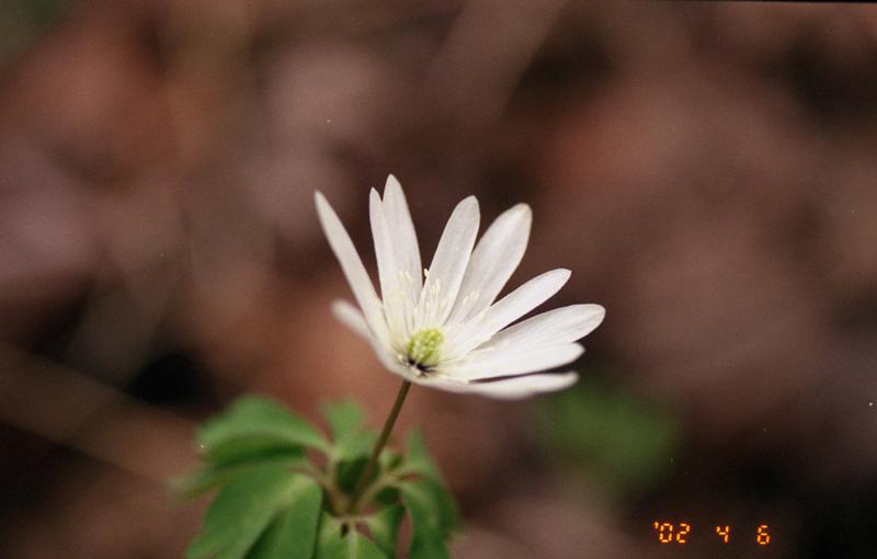 高遠城の白い花