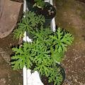 写真: 挿し芽第一弾成功組。ラベンダーは茎が枯れてるっぽいけど脇から新芽が出てます