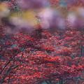 写真: もみじと桜