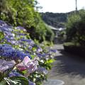 写真: 紫陽花 ご近所編 05