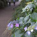写真: 紫陽花 ご近所編 11