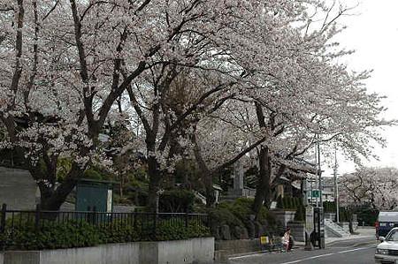 妙法寺の桜 05