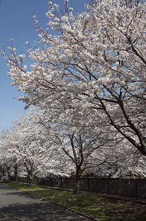 阿久和川の桜 02