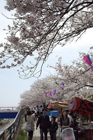 柏尾川の桜 06