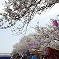 写真: 柏尾川の桜 06
