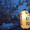写真: 段葛の桜 04