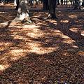 落ち葉のジュウタン
